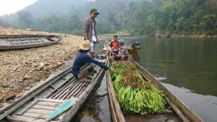 Petai Hutan Rimbang Baling Jadi Andalan